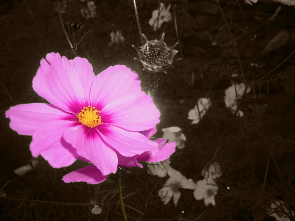 #pink  #flower  #nature
